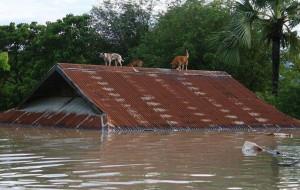 flood-myanmar-dogs